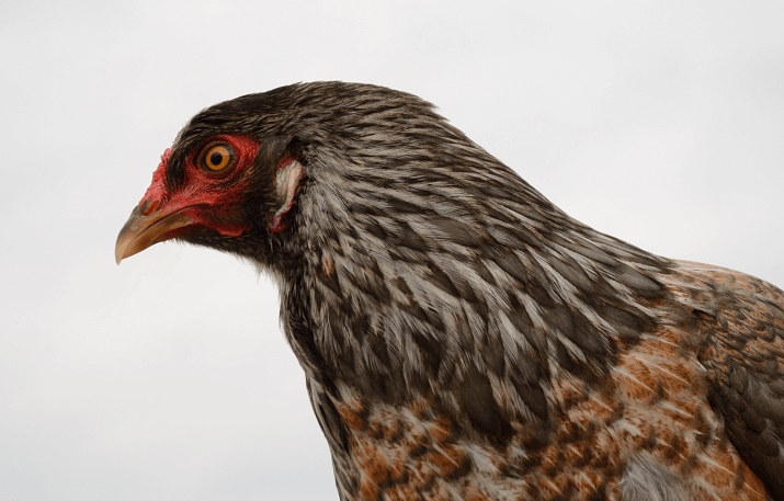 Ameraucana Chicken Care Guide Color Varieties And More