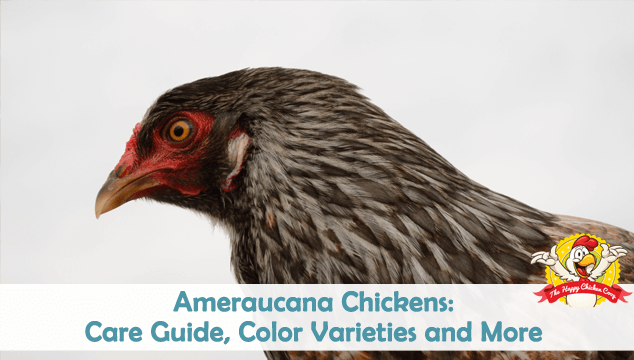 Ameraucana Chicken Care Guide, Color Varieties and More Blog Cover