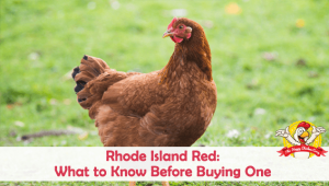Rhode Island Red: What to Know Before Buying One
