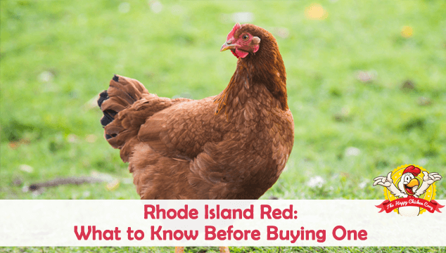 Rhode Island Red What to Know Before Buying One Blog Cover