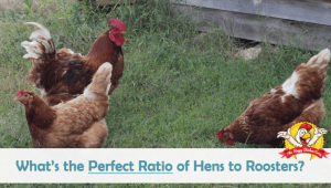 What's the Perfect Ratio of Hens to Roosters?