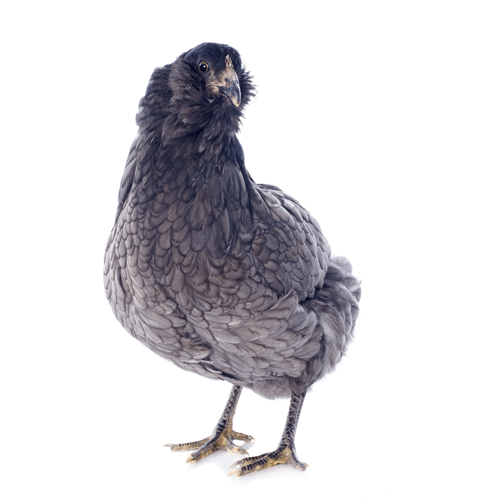 Young Araucana Chicken