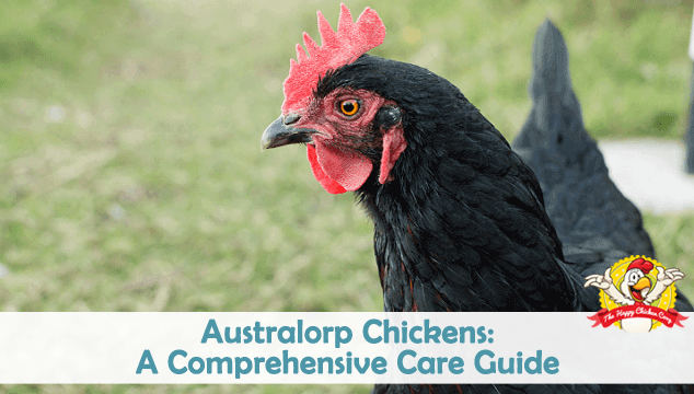Australorp Chickens A Comprehensive Care Guide Blog Cover