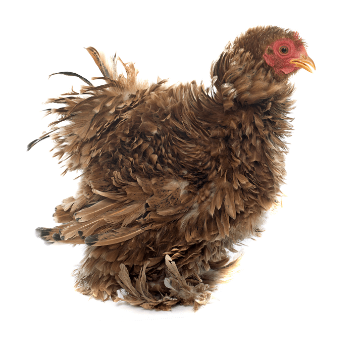 Frizzle Chicken: Breed Profile, Care Guide and More…