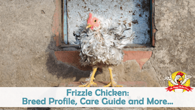 Frizzle Chicken: Breed Profile, Care Guide and More…