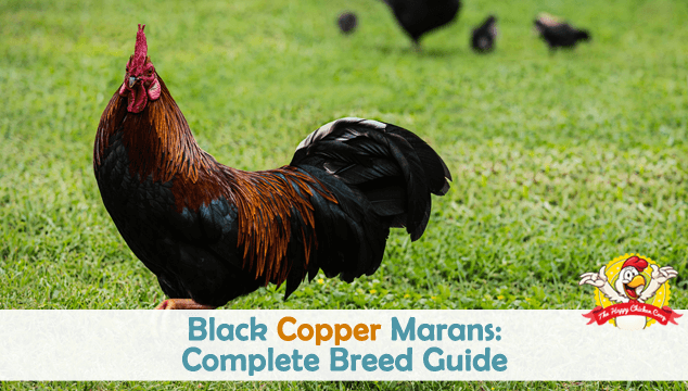Black Copper Marans Complete Breed Guide Feature Image