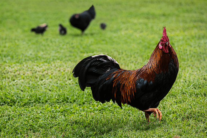 Black Copper Marans Roaming