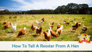 How To Tell A Rooster From A Hen (Is it a Boy or a Girl?)