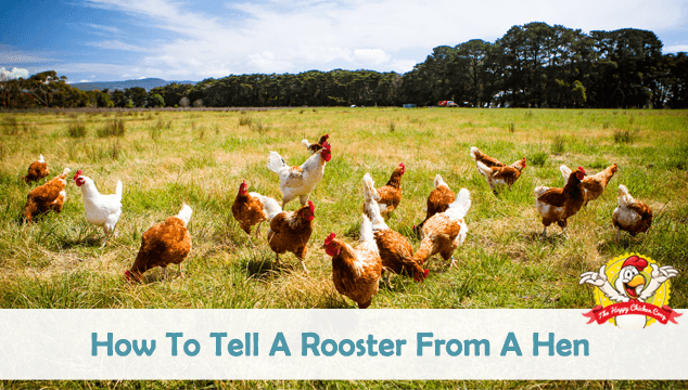 How To Tell A Rooster From A Hen Blog Cover