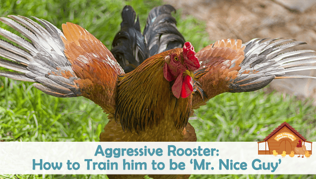 Aggressive Rooster How to Train him to be 'Mr. Nice Guy' Blog Cover