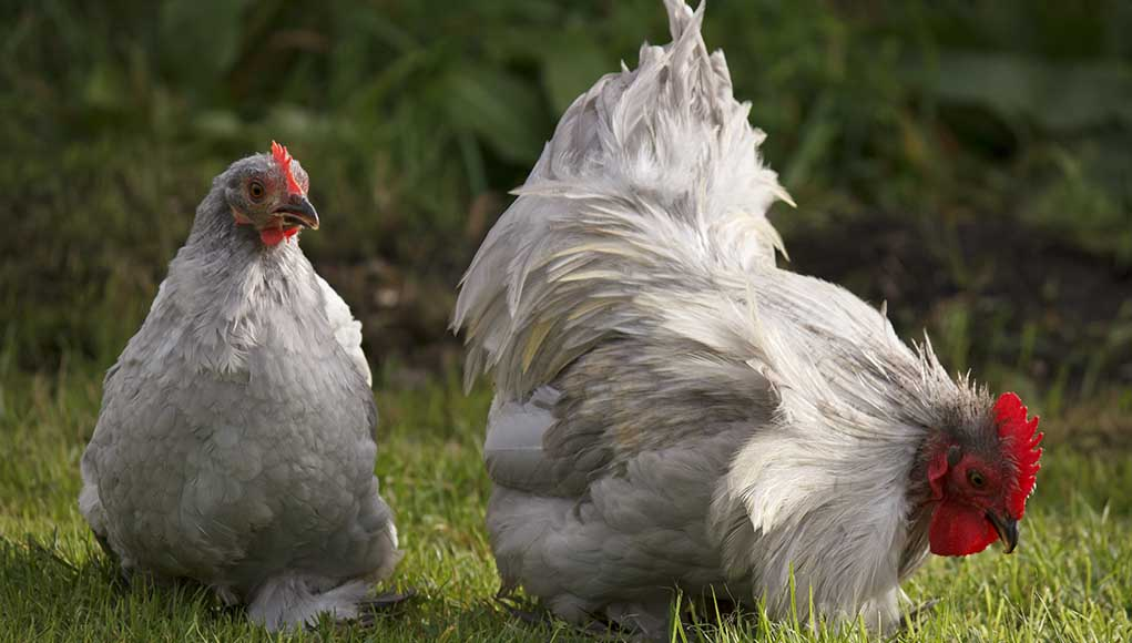Bantam Chickens- Breeds, Egg Laying, Size and Care Guide