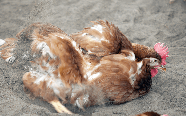 Chicken Scratching in Sand