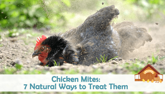 7 Natural Ways to Treat Chicken Mites and Stop Them Returning Blog Cover
