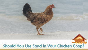 Should You Use Sand In Your Chicken Coop?