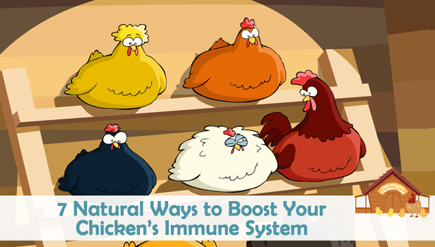 7 Natural Ways to Boost Your Chicken's Immune System Blog Cover