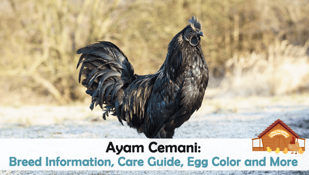 Ayam Cemani Breed Information, Care Guide, Egg Color and More Blog Cover
