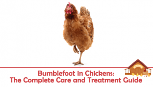Bumblefoot in Chickens: The Complete Care and Treatment Guide