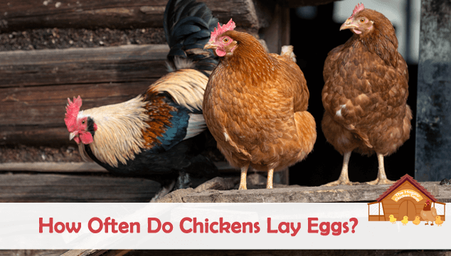 How Often Do Ens Lay Eggs