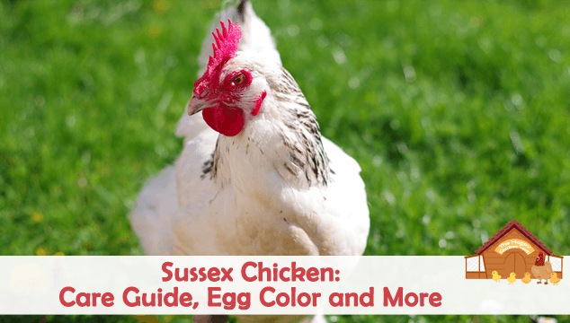 Sussex Chicken Breed Information Care Guide Egg Color And More