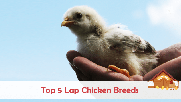 Top 5 Lap Chicken Breeds Blog Cover