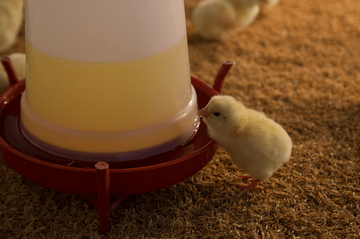 Chicken Waterer Which Type Does Your Flock Need