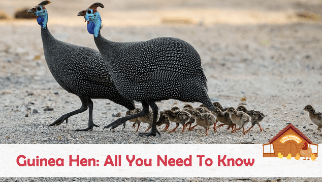 Guinea Hen: All You Need To Know (Complete Care Guide)