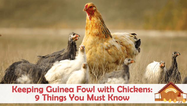 Keeping Guinea Fowl with Chickens 9 Things You Must Know Blog Cover