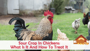 Sour Crop in Chickens: What is it And How to Treat it