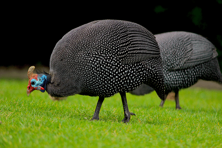 Keeping Guinea Fowl with Chickens: 9 Things You Must Know