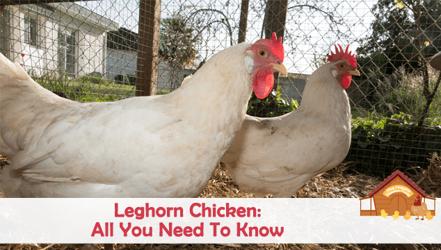 Leghorn Chicken All You Need To Know Blog Cover