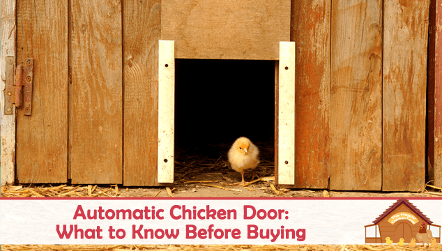 Automatic Chicken Door What to Know Before Buying Blog Cover