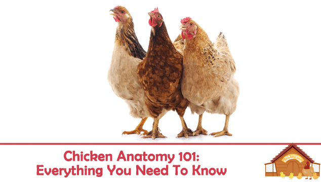 Chicken Anatomy 101: Everything You Need To Know
