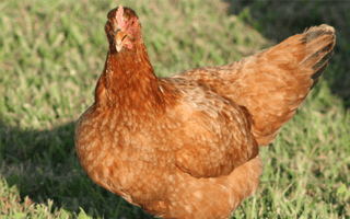 Best Meat Chicken Breeds