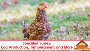 Speckled Sussex: Egg Production, Temperament and More…