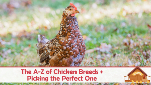 The A-Z of Chicken Breeds and Choosing the Perfect One