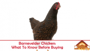 Barnevelder Chicken: What You Need To Know Before Buying