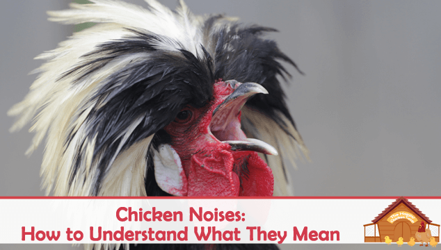 Chicken Noises How to Understand What They Mean Blog Cover