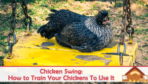 Chicken Swing: Which One to Buy and How to Train Your Chickens