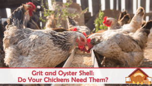 Grit and Oyster Shell: Do Your Chickens Need Them?