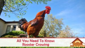 All You Need To Know About Rooster Crowing