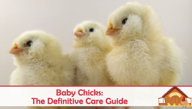 Baby Chicks The Definitive Care Guide Blog Cover