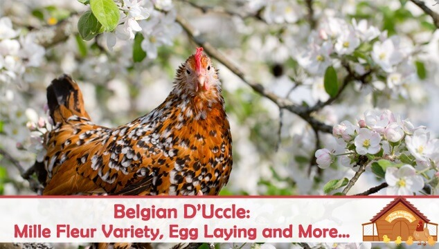 Belgian D'Uccle Mille Fleur Variety, Egg Laying and More Blog Cover