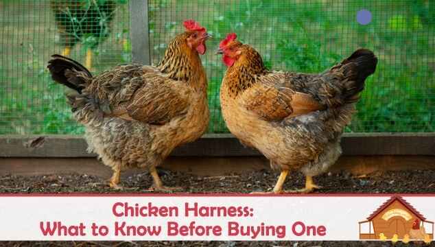 Chicken Harness What to Know Before Buying One Blog Cover
