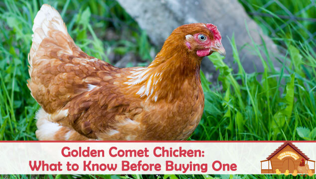 Golden Comet Chicken What to Know Before Buying One Blog Cover
