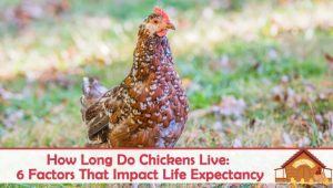 How Long Do Chickens Live: 6 Factors That Impact Life Expectancy