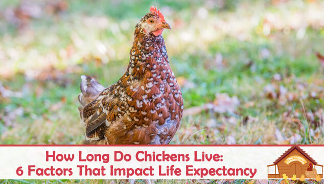 How Long Do Chickens Live 6 Factors That Impact Life Expectancy