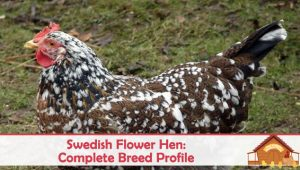 Swedish Flower Hen: Complete Breed Profile