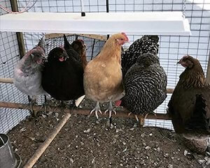 Sweeter Heater Infrared Heater for Chickens