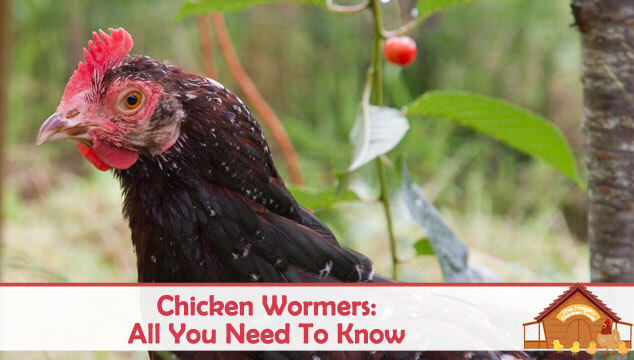 Chicken Wormers All You Need To Know Blog Cover