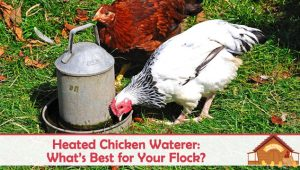 Heated Chicken Waterer: What's Best for Your Flock?